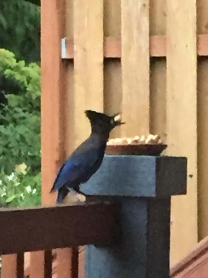 Stellar Jay on Deck