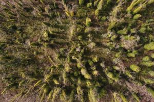 Aerial View of Goat Island Old Growth Ivy Infestation