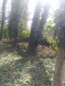 IVY KILL FALLEN TREE
